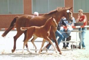 Hengstfohlen von Dimaggio 2005, Hengstanwärter & Auktion in Vechta zugelassen