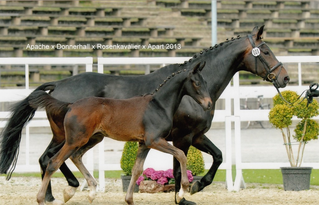 Apache x Donnerhall x Rosenkavalier x Apart x Cyrus 2013