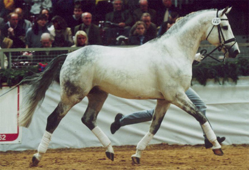 Hengst Royal Silver